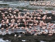 Flamingos im Arusha